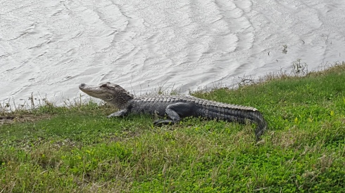 alligator LA.jpg