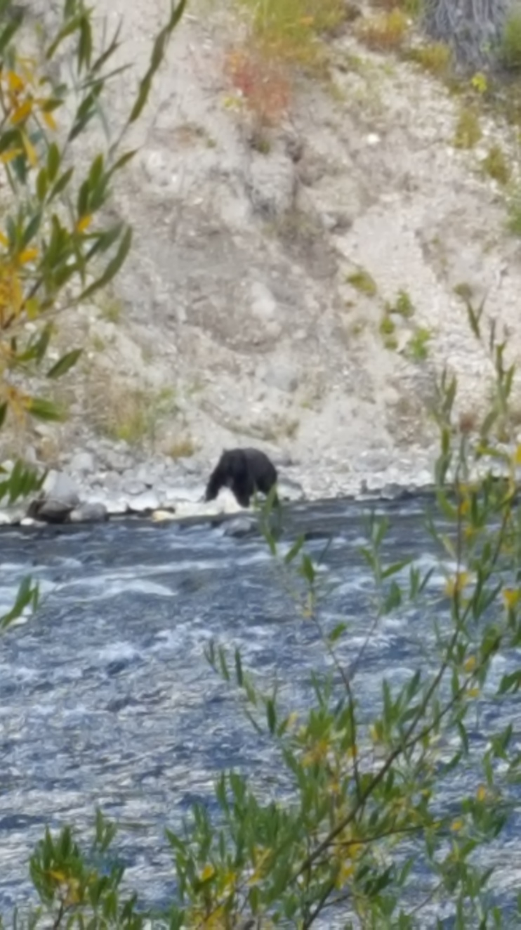 Bear in Yellowstone.jpg